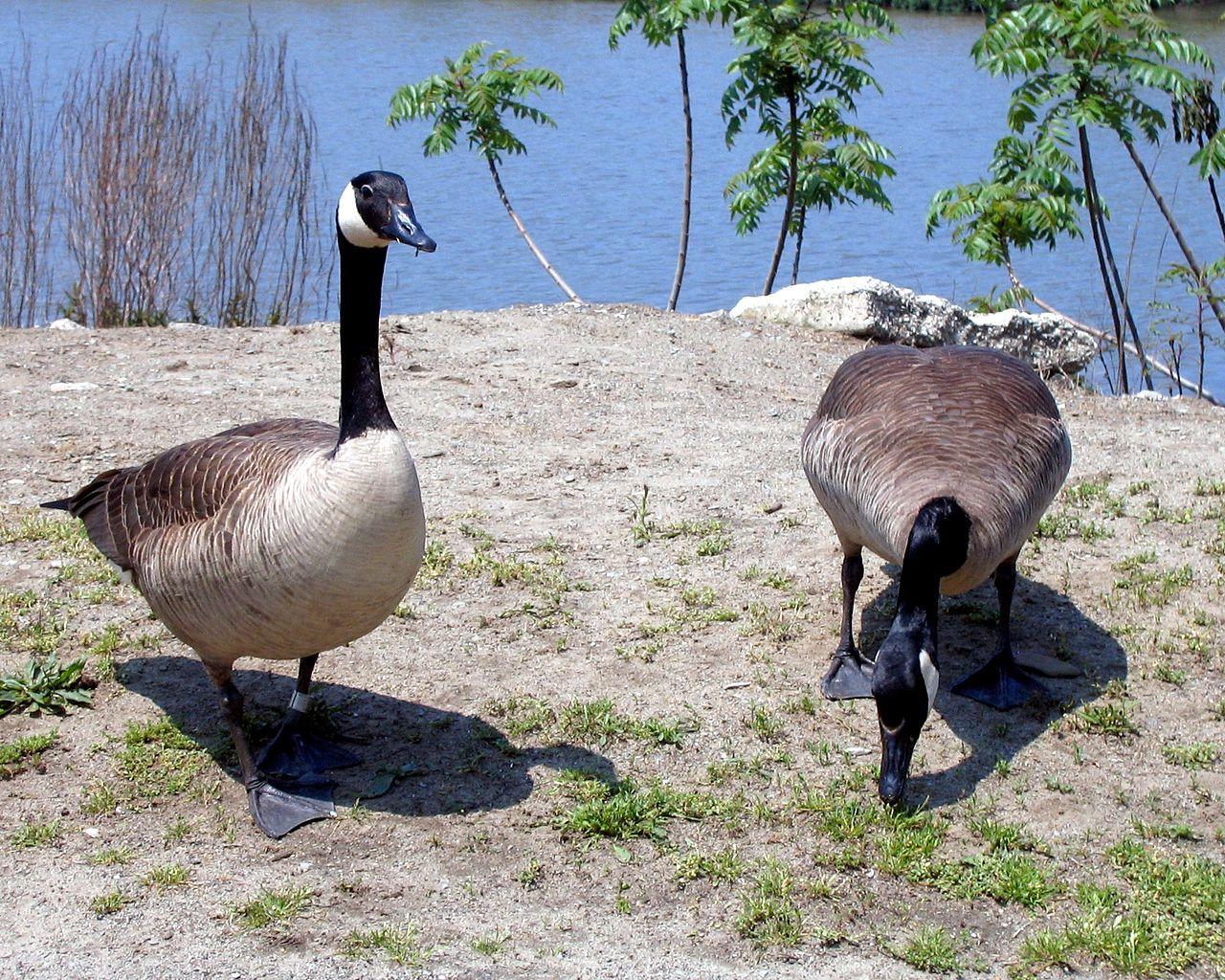 1280px-Lake_Erie_Canada_Geese.jpg